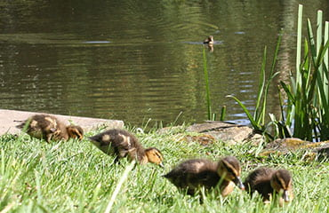 Ducklings at the Kenwood Hall Hotel